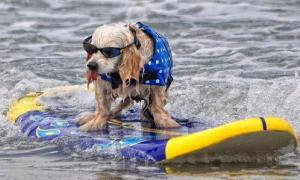 funny-animals-sports-surfing