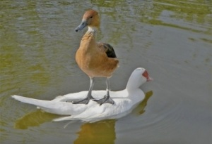 image_funny_duck_standing