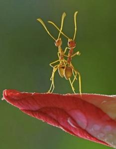 images_ants_dancing_tango