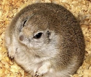 images_fat_hamster