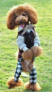images_funny_dog_wearing_pants