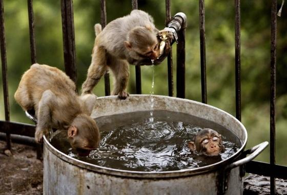 images_funny_monkeys_dip_sip