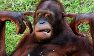 images_funny_orangutan_hear_no_evil