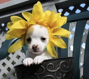 images_cute_puppy_sunflower