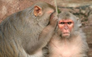 images_funny_monkeys_whispering