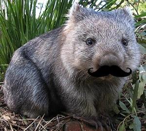 images_funny_wombat_moustache