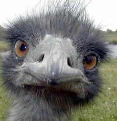 images_ostrich_looking_stupid