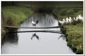 images_chooks_chicken_leader