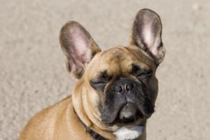 images_cute_bulldog_listening