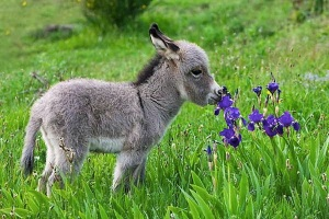 images_cute_donkey_smelling_flowers