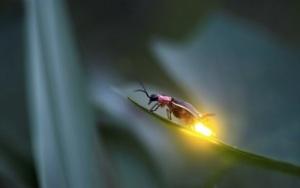 images_firefly_light