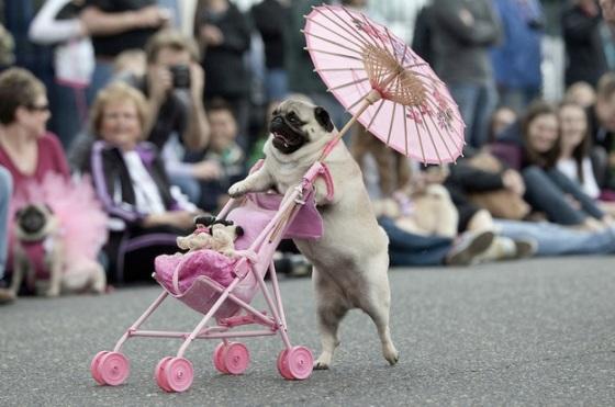 images_funny_dog_pushing_pram