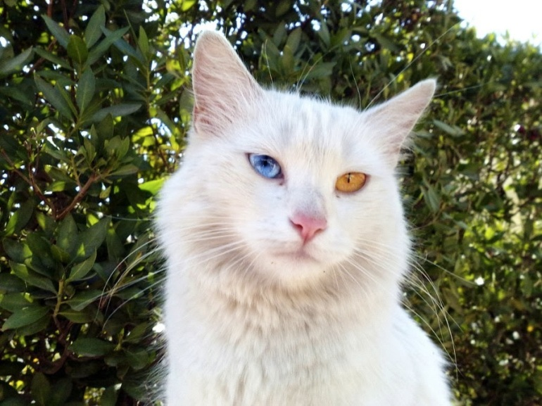 images_cute_cat_with_different_eye_color