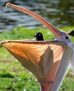 images_funny_bird_big_mouth