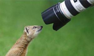 images_funny_meerkat_looking_at_telescope