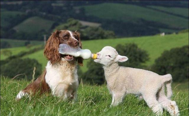 images_cute_dog_feeding_lamb