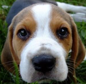 images_funny_beagle
