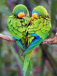 images_parrots_love