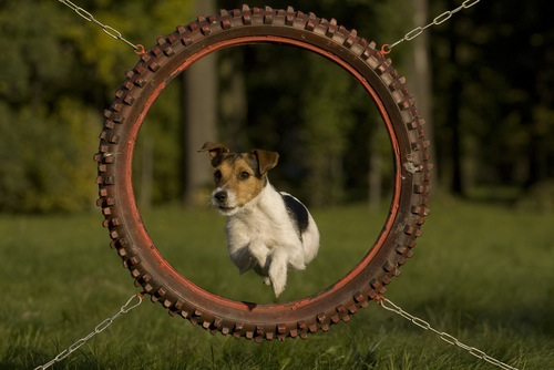 images_cute_dog_obstacles_agility