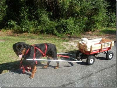 images_cute_puppy_on_wagon_pulled_by_rottweiler