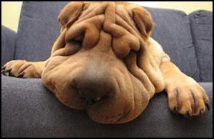 Funny Shar Pei Dog_5_thumb[2]