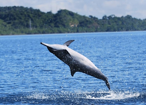 images_dolphin_jumping_in_ocean
