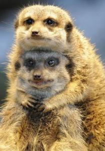 images_funny_meerkats_posing