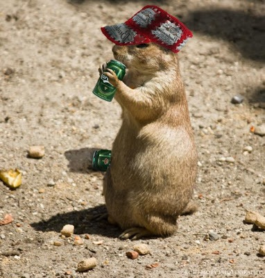 images_funny_prairie_dog_drinking_beer