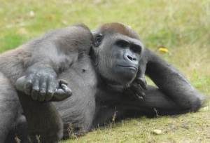 images_gorilla_relaxing