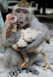 images_monkey_hugging_chicken