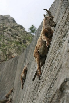 images_mountain_goat_climbing