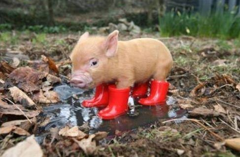 images_cute_piglet_in_red_boots