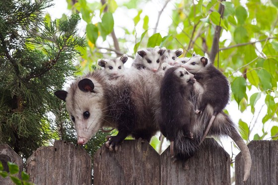 images_cute_possum_carrying_babies