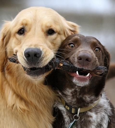 cute_dogs_sharing_stick