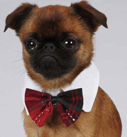 images_cute_dog_wearing_bowtie