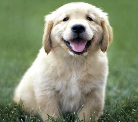 images_cute_labrador_puppy
