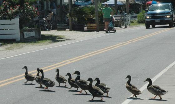 images_ducks_crossing_road