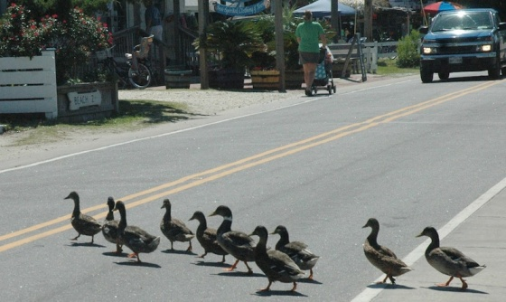 images_ducks_crossing_road