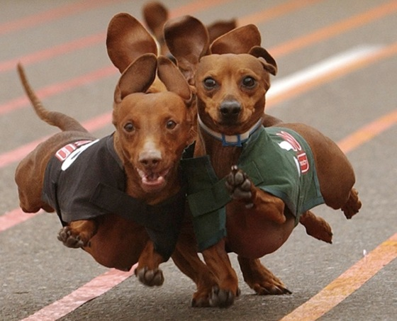 images_funny_dachshund_running