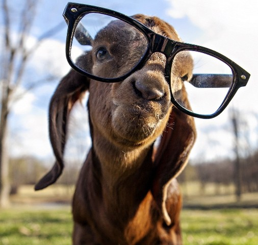 images_funny_goat_wearing_glasses