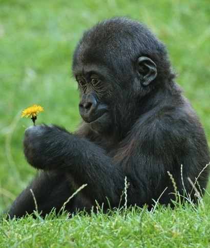 cute_gorilla_looking_at_flower