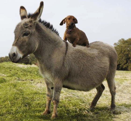 images_cute_donkey_giving_dog_a_ride