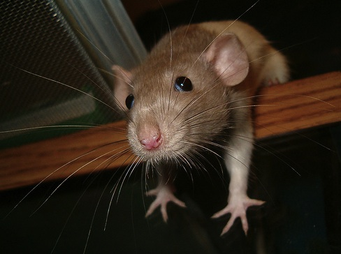 images_cute_mouse_reaching_out