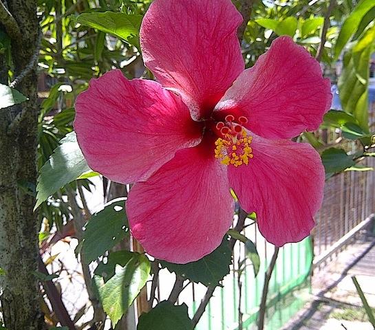 beautiful_hibiscus