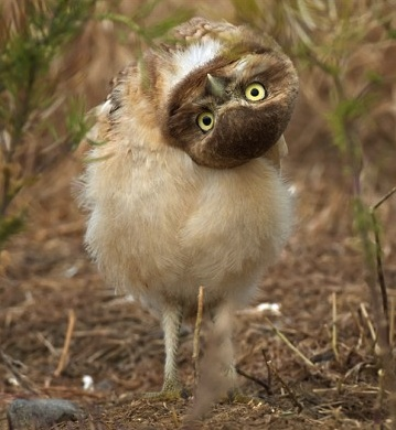 owl_with_upside_down_head