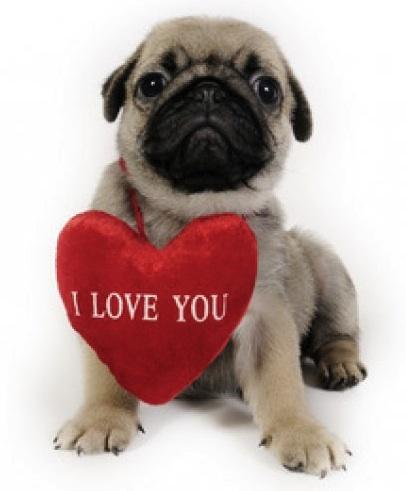 funny_bulldog_valentine