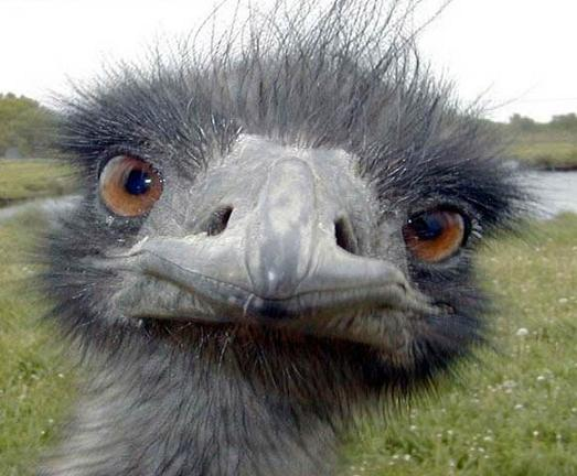 funny_ostrich_looking_straight
