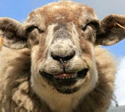 funny_sheep_smiling