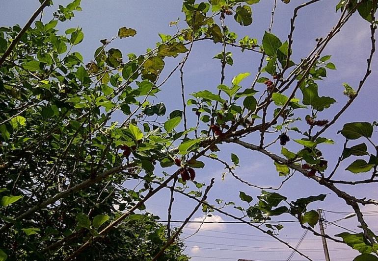 my_mulberry_tree