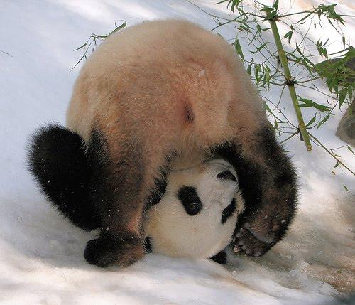 funny_panda_doing_yoga